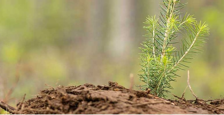 Stora Enso plants more than 48 million tree seedlings in Nordic forests in 2021