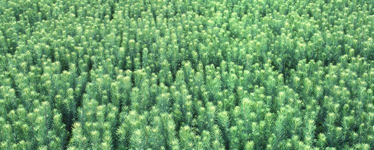 В 2020 г. объем поставок саженцев лесных культур в Швеции вырос на 6,8%
