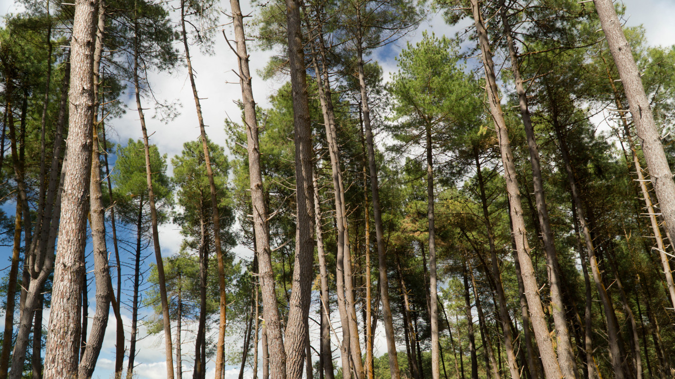 Selling lumber could become less profitable than growing trees in New Zealand