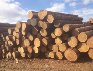 Siberian Larch Sawlog 30 mm x 6 m