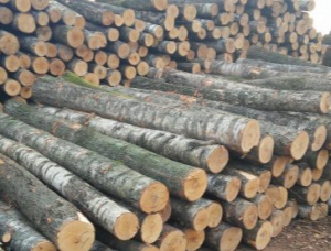 Birch Veneer logs 180 mm x 6 m