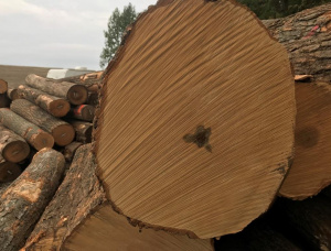 Hard Maple Veneer logs 480 mm x 2.1 m