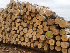 Veneer logs Birch 180 mm x 3 m