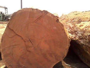 Iroko Logs for sell Iroko (Mvuli, Kambala, Semli, Rokko) 80 mm x 18 m