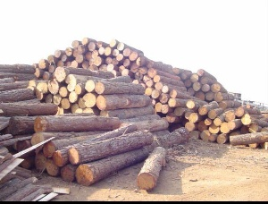 Saw logs Elliotis Pine 200 mm x 5 m