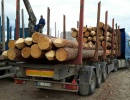 Saw logs Pine 260 mm x 3.80 m