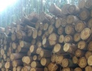 Saw logs Eucalyptus 200 mm x 5 m
